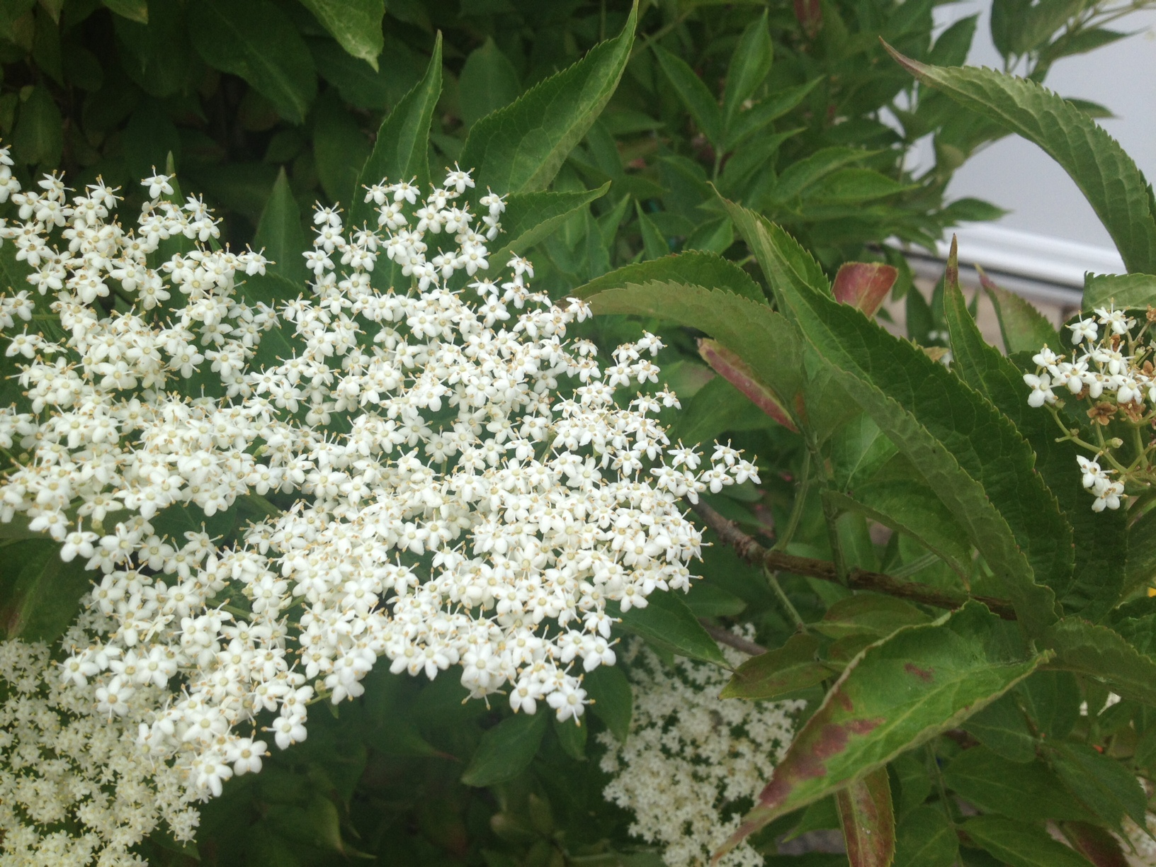 Elderflower Cordial Recipe — Dishmaps