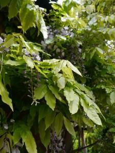 wisteria3