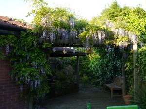 wisteria6